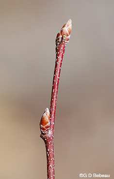 Musclewood twig