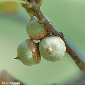 Northern Pin Oak acorns