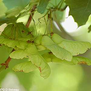 Norway Maple keys