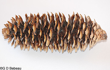 Norway spruce cone