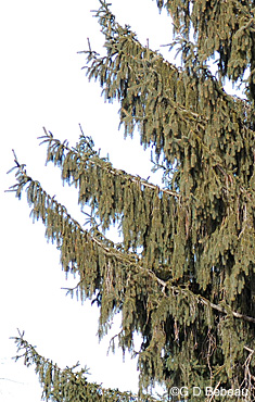 Norway spruce branchlets