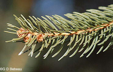 Norway Spruce twig