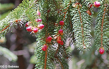 Norway Spruce new flowers