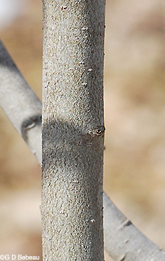 Pussy Willow Bark