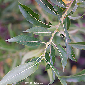 Pussy Willow leaf