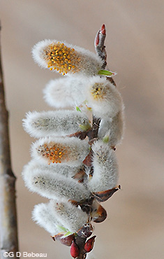 Pussy Willow Male Catkin