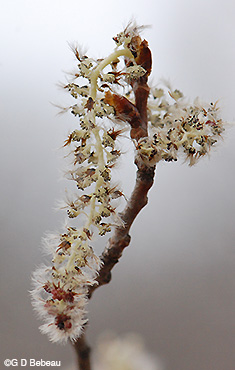 Quaking Aspen Male catkin