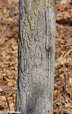 Quaking Aspen older bark