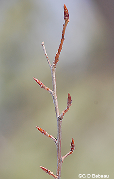 Quaking Aspen twig