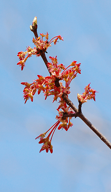 Red Maple female flower clusters