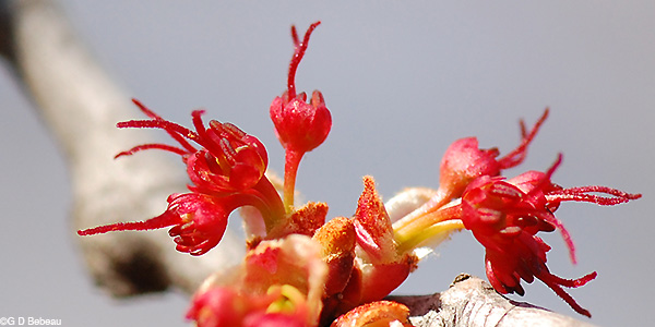 Red Maple female flowers
