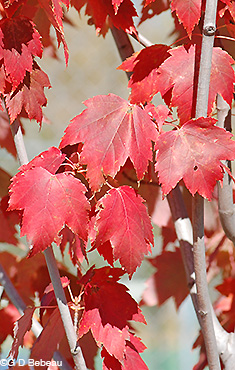 Red Maple Fall leaf