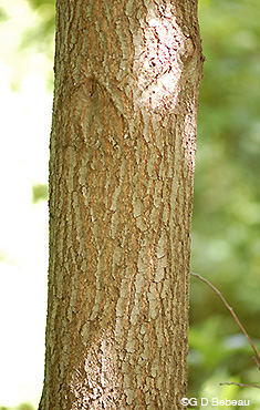 Red Oak bark