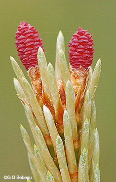 Red Pine Female flowers
