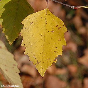 River Birch fall leaf color