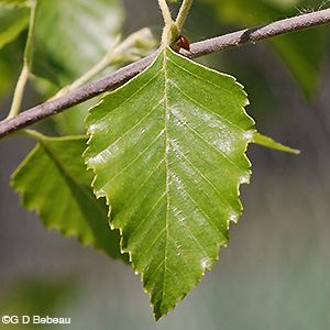 River Birch leaf