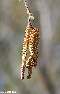 River Birch male catkin