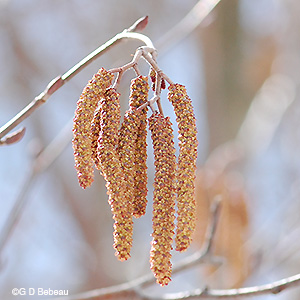 Speckled Alder male catkins