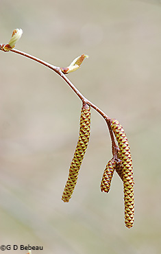 male and female catkins