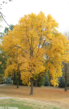 White Ash fall color