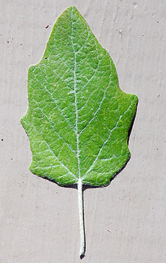 new early leaf