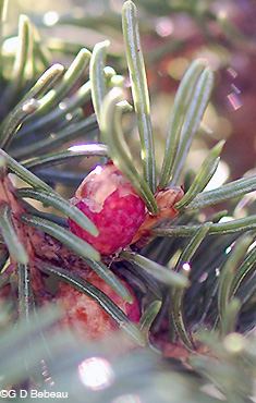 White Spruce Male flower