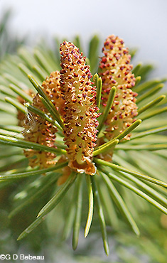 White Spruce male catkins