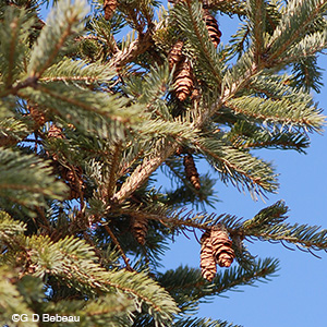 White Spruce mature cones