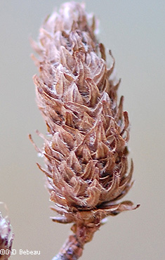 Mature seed cone