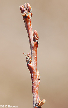 Yellow Birch Twig