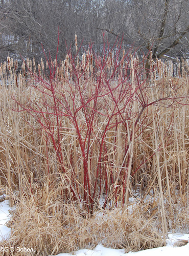 Red Osier Dogwood in late winter