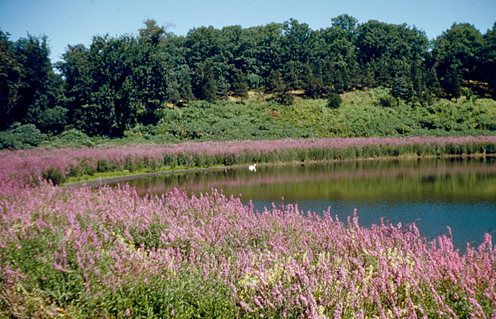 Purple Loosestrife at Birch Pond  1950