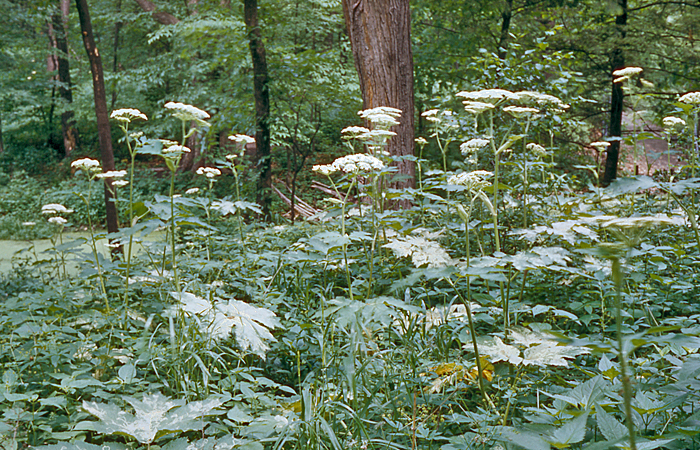 Cow Parsnip group 1953