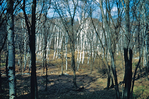 marsh and birches 1948