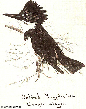 Harriet's Kingfisher Drawing