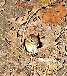 Chipmunk in burrow