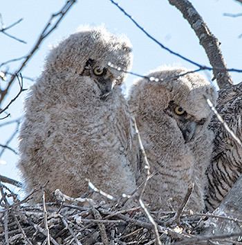 pair of owlets