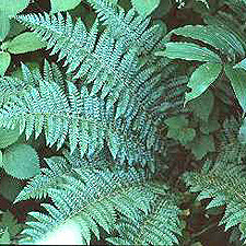 Brauns Holly Fern