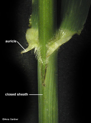 leaf sheath