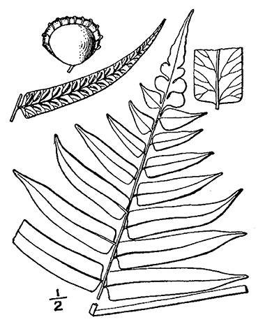 Glade fern drawing