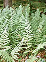 Hay-scented Fern frond