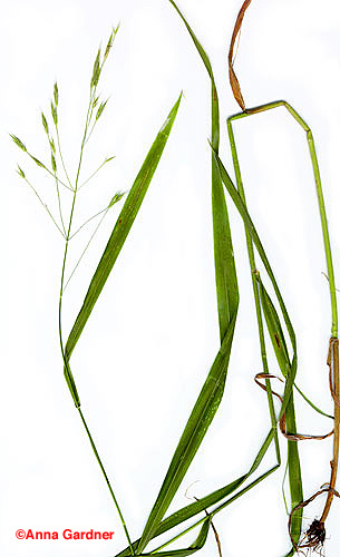 Hairy Woodland Brome - complete plant