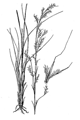 Little Bluestem Drawing