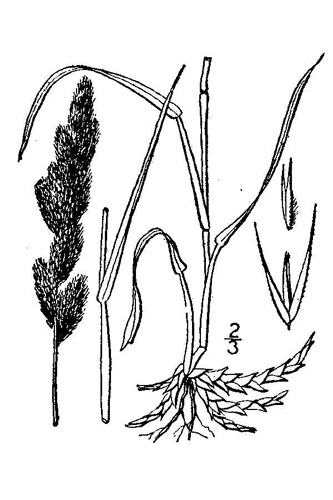 Muhly Grass Drawing