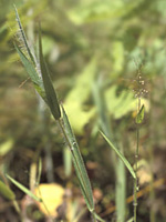 Hairy panicgrass