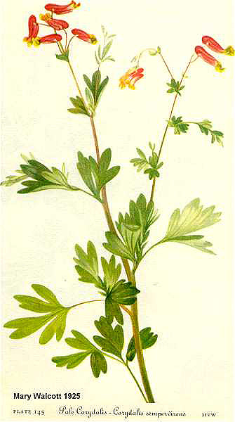 Pale Corydalis Botanical Illustration