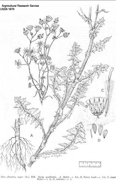 Spiny Sow thistle illustration