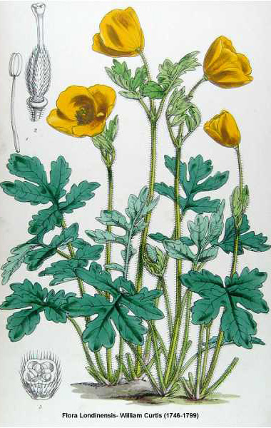 Wood Poppy Drawing