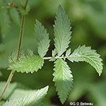 Soft Agrimony lower leaf