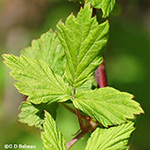 Black Raspberry leaf